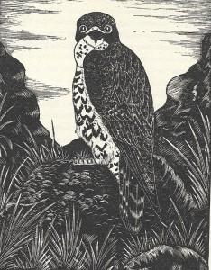 Peregrine Falcon .